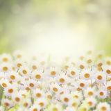 Daisies in The Flower Garden Royalty Free Stock Photos