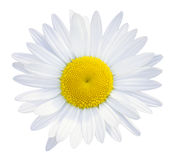 Daisies flower head. Isolated on white background Stock Photography
