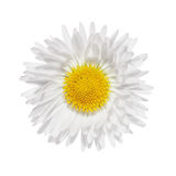 Daisies flower head camomile isolated Stock Photography