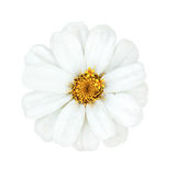 Daisies flower head with yellow stamens isolated Royalty Free Stock Photography