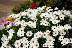 Daisies in flower shop Royalty Free Stock Image