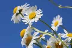 Daisies, Flower, Spring, Plant Royalty Free Stock Images