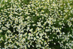 Daisies, Flower, Summer, Meadow Royalty Free Stock Photo