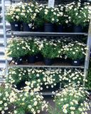 Daisies in flowerpots. At a flower market stock photography