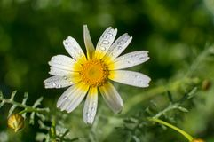 Daisies. Flowers daisies blooming in the beginning of spring Stock Photography