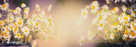 Daisies flowers on blurred nature background, banner for website Stock Photo