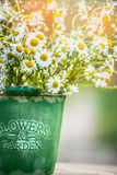 Daisies flowers in bucket over summer or spring beautiful nature garden , close up Royalty Free Stock Photography