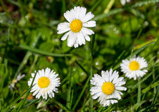 Daisies flowers with drops Royalty Free Stock Photos