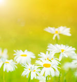 Daisies flowers field. Closeup on daisies flowers field, sunny day, chamomile meadow, bright sunlight, abstract floral background, summer nature Royalty Free Stock Images