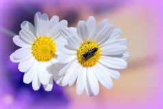 Daisies, Flowers, Garden, Flora Royalty Free Stock Images