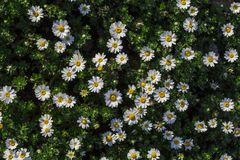Daisies flowers in Spring time. Top view stock images