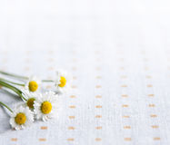 Daisies flowers Stock Photos