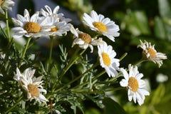 Daisies, Flowers, White, Yellow Stock Photo