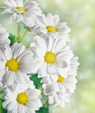Daisies flowers Stock Photography