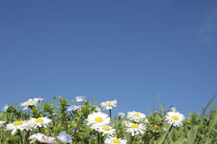 Daisies in the foreground, with a sky background. Stock Image