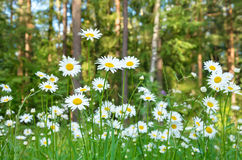 Daisies in a forest glade Stock Images