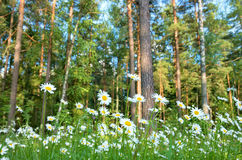 Daisies in a forest glade. Beautiful daisies with forest in the background Royalty Free Stock Image