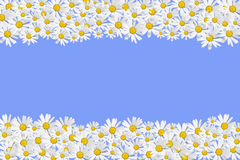 Daisies frame. Isolated on blue Royalty Free Stock Image