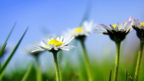 Daisies in the French Sun. Daisies in the sun with blue sky Stock Image