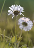 Daisies in full glory Royalty Free Stock Photos