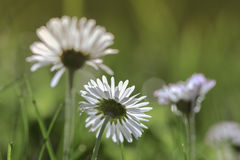 Daisies in full glory Royalty Free Stock Image