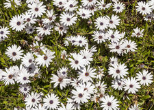 Daisies fund Stock Photography