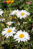 Daisies in garden Stock Photos