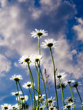 Daisies in the garden. From the bottom up in the sky Royalty Free Stock Images