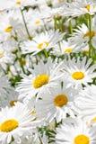 Daisies in garden Stock Image