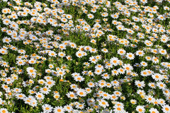 Daisies garden Royalty Free Stock Photo
