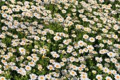 Daisies garden royalty free stock photo