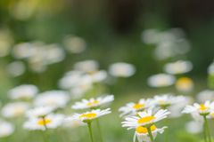 Daisies in the garden all in yellow green royalty free stock images