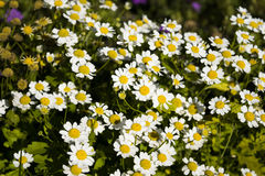 Daisies. Garden blossoming field of daisies Royalty Free Stock Photo