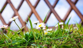 Daisies, garden fence Royalty Free Stock Photo