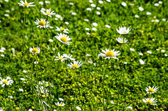 Daisies in the garden Royalty Free Stock Photography