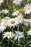 Daisies in the garden Stock Image