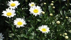 Daisies. A garden of white daisies