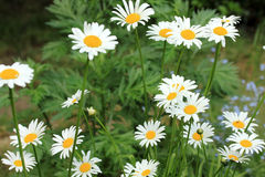 Daisies in  garden Royalty Free Stock Images