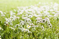 Daisies on a glade Stock Photography