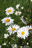 Daisies in grass. Large white ox-eye daisies (Leucanthemum vulgare) at meadow Stock Photography
