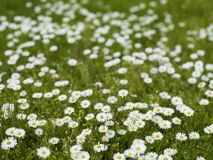 Daisies in the Grass Stock Image