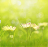 Daisies in grass Royalty Free Stock Image