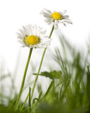 Daisies in grass Royalty Free Stock Photography