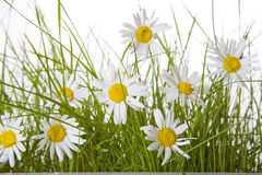 Daisies and Grass Stock Photo