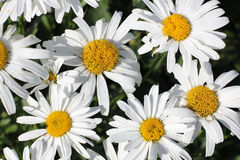 Daisies on grass Stock Photo