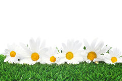Daisies on the grass royalty free stock photo