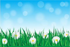 Daisies in the grass. Background with daisies in the grass with blue sky Stock Images