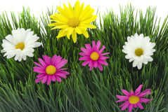 Daisies and Grass Royalty Free Stock Images