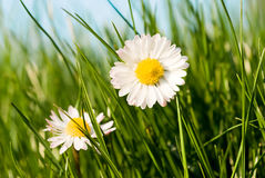 Daisies in the grass. Close up of two daisies in a sunny day stock photography
