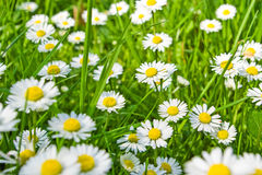 Daisies and grass Royalty Free Stock Photography